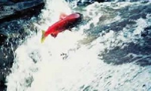 Salmonleaping